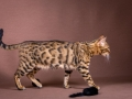 Malu-Bengals-Katze-Sally-Fleins-Wild_0013
