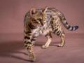 Malu-Bengals-Katze-Sally-Fleins-Wild_0016