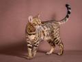 Malu-Bengals-Katze-Sally-Fleins-Wild_0017