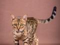 Malu-Bengals-Katze-Sally-Fleins-Wild_0018