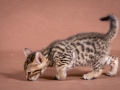 Malu-Bengals-Katze-Sally-Fleins-Wild_0019