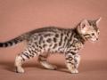 Malu-Bengals-Katze-Sally-Fleins-Wild_0020