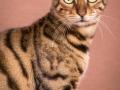 Malu-Bengals-Katze-Silla-Banbilar_0005