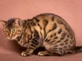Malu-Bengals-Katze-Silla-Banbilar_0008