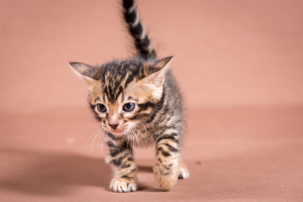 Malu-Bengals-Katzenzucht-Kitten-Galerie_0003
