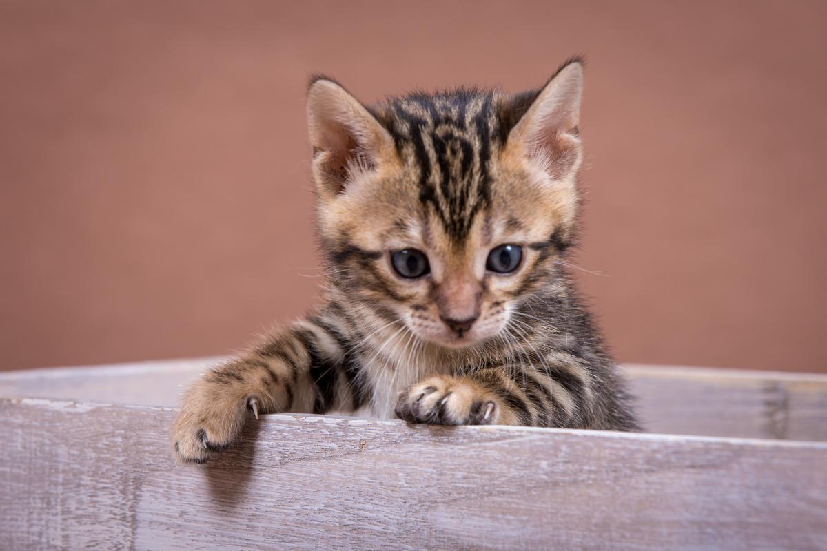 Malu-Bengals-Katzenzucht-Kitten-Galerie_0012
