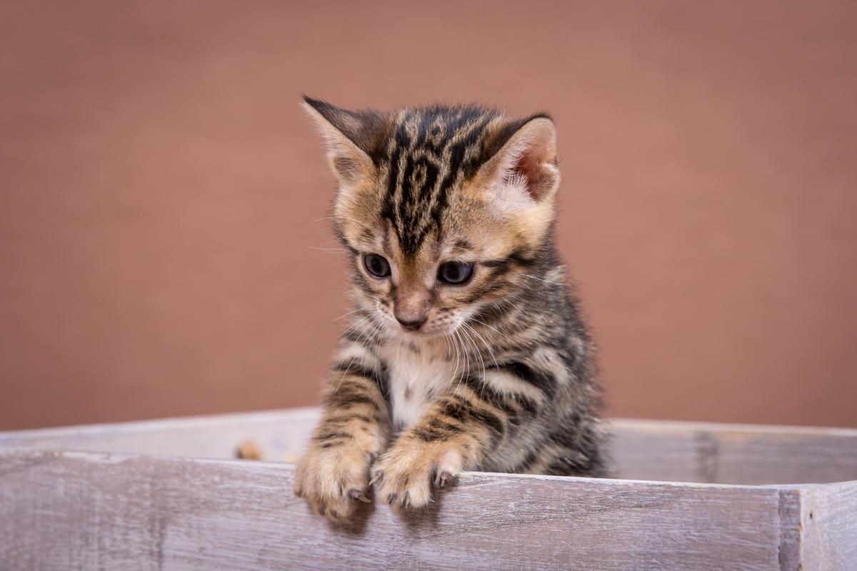 Malu-Bengals-Katzenzucht-Kitten-Galerie_0013