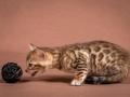 Malu-Bengals-Katzenzucht-Kitten-Galerie_0005