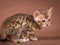 Malu-Bengals-Katzenzucht-Kitten-Galerie_0007