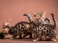 Malu-Bengals-Katzenzucht-Kitten-Galerie_0009