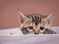 Malu-Bengals-Katzenzucht-Kitten-Galerie_0011