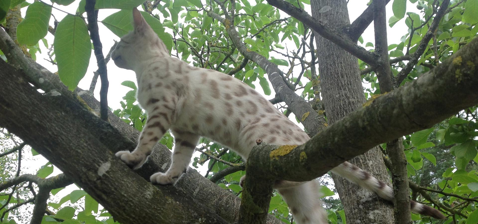 Malu Bengals Bengal Katzen Zucht