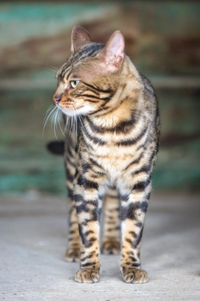 Malu Bengals Kater Chester
