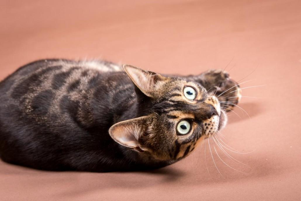 Malu Bengals Katze Chilli Wunderkittys