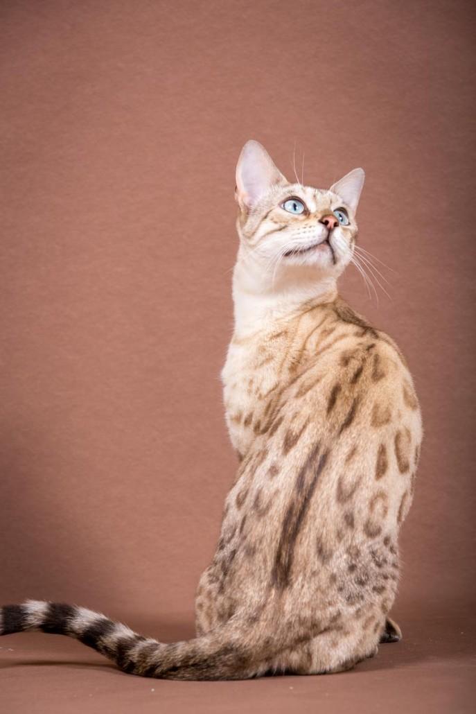 Malu bengals Katze Fina Hand-Sonnenberg