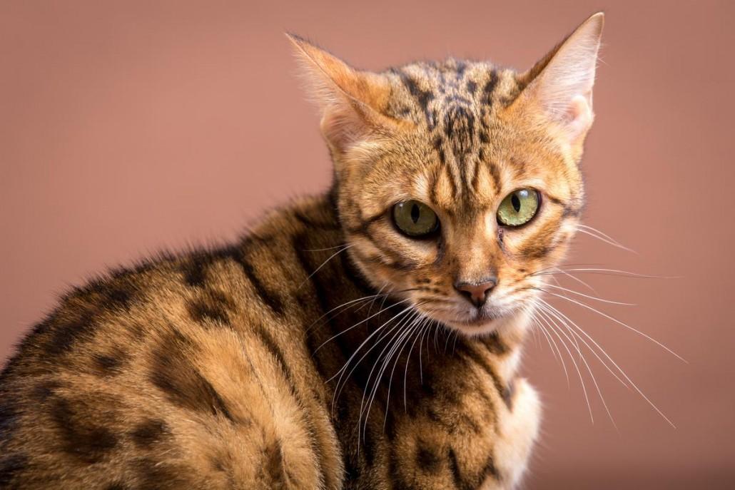 Malu Bengals Katze Sally Fleins-Wild