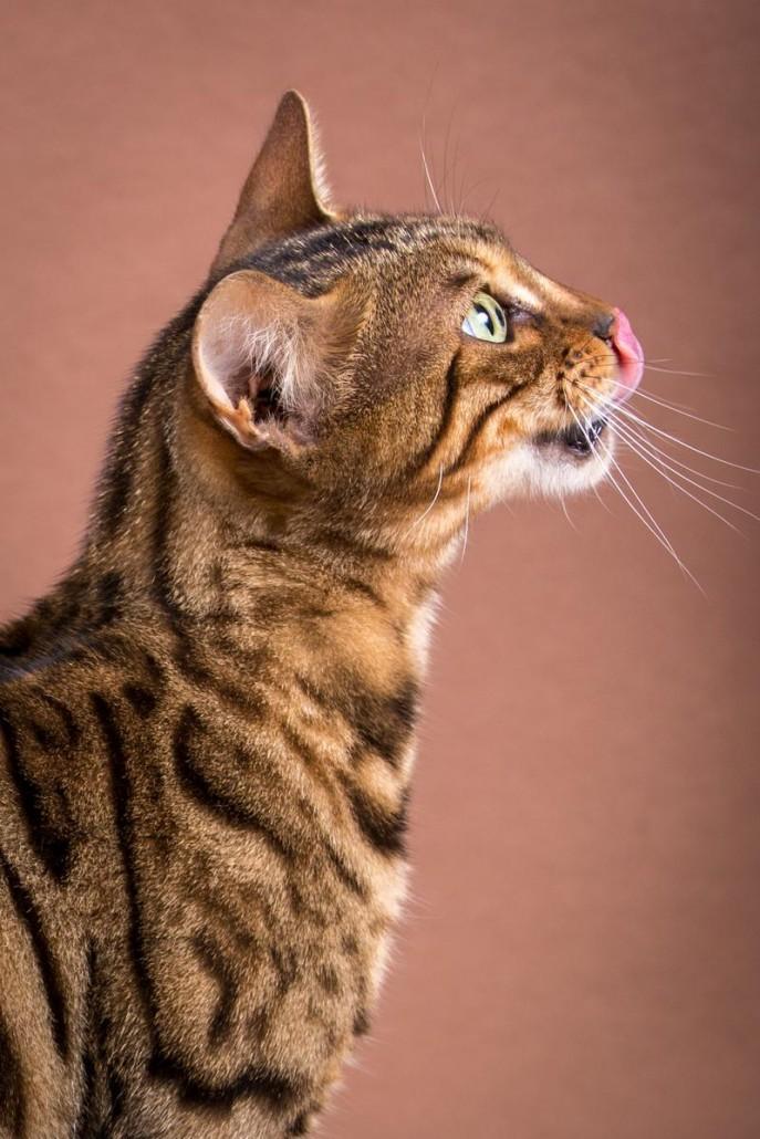 Malu Bengals Katze Silla Banbilar