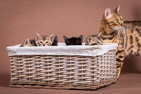 Malu Bengals Katzenzucht Bengalkatzen