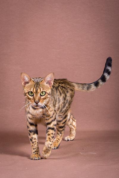 Malu Bengals Katzenzucht Kosten