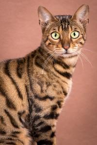 Malu Bengals Katzenzucht Unsere Bengalkatzen