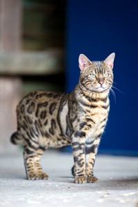 Malu Bengals Katzenzucht