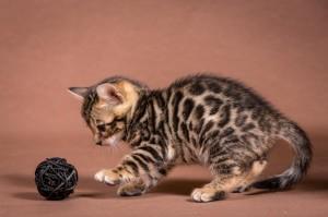 Malu Bengals Kitten Alasan Junge