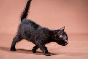 Malu Bengals Kitten Aleeke Junge melanistic