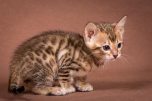 Malu Bengals Kitten Anisa Maedche