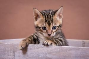 Malu Bengals Kitten Arkin Junge